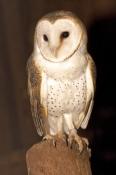barn-owl-picture;barn-owl;owl;australian-owl;white-owl;tyto-alba;northern-territory-wildlife-park;no