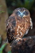 southern-boobook-owl-picture;southern-boobook-owl;boobook-owl;boobook;ninox-boobook;owl;australian-o