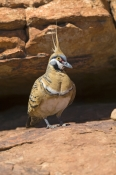 spinifex-pigeon-picture;spinifex-pigeon;pigeon;australian-pigeon;geophaps-plumifera;pigeon-with-cres