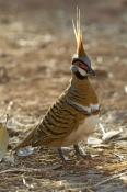 spinifex-pigeon-picture;spinifex-pigeon;pigeon;australian-pigeon;geophaps-plumifera;purnululu-nation