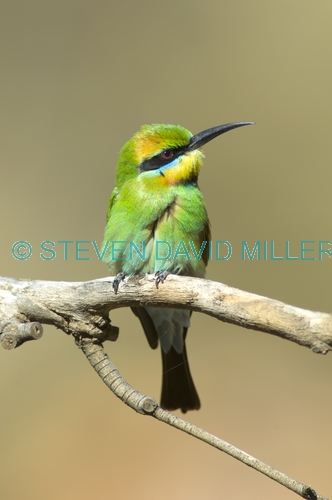 rainbow bee-eater picture;rainbow bee-eater;rainbow bee eater;rainbow beeeater;bee-eater;australian bee-eater;merops ornatus;standleys chasm;west macdonnell ranges;northern territory;steven david miller;natural wanders