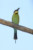 rainbow-bee-eater-picture;rainbow-bee-eater;rainbow-bee-eater;rainbow-beeeater;bee-eater;rainbow-bee