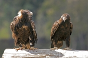 wedge-tailed-eagle-picture;wedge-tailed-eagle;eagle;australian-eagle;tasmanian-eagle;wedge-tailed-ea
