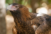 wedge-tailed-eagle-picture;wedge-tailed-eagle;wedgetailed-eage;wedge-tailed-eagle;australian-eagle;e