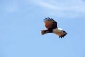 brahminy-kite;kite;australian-kite;haliastur-indus;red-backed-sea-eage;sea-eagle;australian-sea-eagl