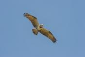 osprey-picture;osprey;osprey-in-flight;pandion-haliaetus;sea-bird;sea-eagle;osprey-flying;bird-in-fl