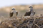 osprey-picture;osprey;pandion-haliaetus;osprey-on-nest;osprey-nesting-pair;quobba;point-quobba;quobb