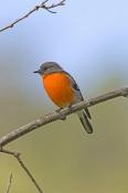 flame-robin-picture;flame-robin;robin;australian-robin;petroica-phoenicea;red-bird;orange-bird;small