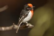 banded-bird;red-capped-robin;australian-robin;petroica-goodenovii;small-bird;alice-springs-desert-pa