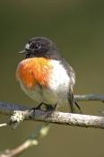 scarlet-robin-picture;scarlet-robin;robin;australian-robin;petroica-boodang;red-bird;small-robin;bru