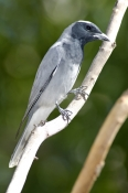 black-faced-cuckoo-shrike-picture;black-faced-cuckoo-shrike;black-faced-cuckoo-shrike;shrike;austral