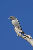 white-breasted-woodswallow-picture;white-breasted-woodswallow;white-breasted-woodswallow;australian-