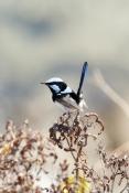 superb-blue-wren;superb-fairy-wren;blue-wren;Malurus-cyaneus;wren;blue-bird;small-bird
