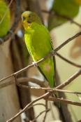 budgerigar;melopsittacus-undulatus;budgie;alice-springs-desert-park;parakeet;parrakeet