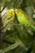 budgerigar-picture;budgerigar;budgie;melopsittacus-undulatus;small-cockatoo;parakeet;australian-parr