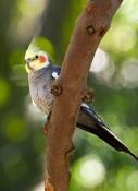 cockatiel-picture;cockatiel;nymphicus-hollandicus;australian-parrot;australian-cockatoo;small-parrot