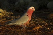 pink-and-grey-parrot;pink-and-gray-parrot