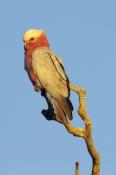 galah;male-galah;euolphus-roseicapillus;cacatua-roseicapillus;pink-parrot;parrot-on-tree-branch;mulo