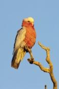 galah-picture;galah;male-galah;euolphus-roseicapillus;cacatua-roseicapillus;australian-cockatoo;gray