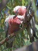 galah-picture;galah;eolophus-roseicapillus;cacatua-roseicapillus;pink-parrot;parrot;australian-parro