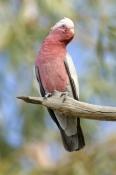 galah-picture;galah;eolophus-roseicapillus;cacatua-roseicapillus;pink-parrot;pink-and-grey-parrot;pa