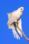 little-corella-picture;little-corella;corella;white-parrot;corella-stretching-wing;parrot-stretching