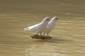 little-corella-picture;little-corella;little-corella-wing-extended;parrot-wing;bird-with-open-wings;