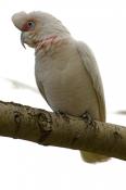 long-billed-corella-picture;long-billed-corella;longpbilled-corella;long-billed-corella;corella;aust