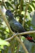 red-tailed-black-cockatoo-picture;red-tailed-black-cockatoo;red-tailed-black-cockatoo;calyptorhynchu