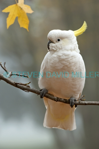 sulphur crested cockatoo picture;sulphur-crested cockatoo;sulfur crested cockatoo;cockatoo;cacatua galerita;wild cockatoo;australian cockatoo;white cockatoo;white parrot;australian parrot;vertical cockatoo picture;cockatoo in tree;grampians national park;victoria;australia;australian bird;white bird;steven david miller