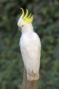 sulphur-crested-cockatoo-picture;sulphur-crested-cockatoo;sulphur-crested-cockatoo;cacatua-galerita;