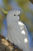 sulphur-crested-cockatoo-picture;sulphur-crested-cockatoo;sulphur-crested-cockatoo;cockatoo;cacatua-
