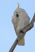 sulphur-crested-cockatoo-picture;sulphur-crested-cockatoo;sulphur-crested-cockatoo;cockatoo;australi
