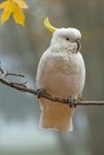 sulphur-crested-cockatoo-picture;sulphur-crested-cockatoo;sulfur-crested-cockatoo;cockatoo;cacatua-g