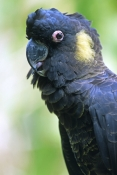 yellow-tailed-black-cockatoo-picture;yellow-tailed-black-cockatoo;yellow-tailed-black-cockatoo;black