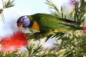 rainbow-lorikeet-picture;rainbow-lorikeet;trichoglossus-haematodus;parrot;lorikeet;australian-lorike