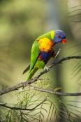 rainbow-lorikeet;Tachybaptus-novaehollandiae;cania-gorge-national-park;bird-scratching