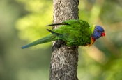rainbow-lorikeet;Tachybaptus-novaehollandiae;cania-gorge-national-park;bird-with-fluffed-feathers