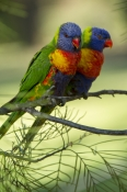 eye-contact;rainbow-lorikeets;Tachybaptus-novaehollandiae;cania-gorge-national-park