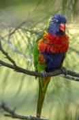 bird-with-wet-feathers;rainbow-lorikeet;Tachybaptus-novaehollandiae;cania-gorge-national-park