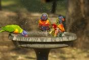 bird-bathing;bird-bath;rainbow-lorikeet;Tachybaptus-novaehollandiae;cania-gorge-national-park