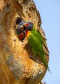 bird-feeding-chick;parrot-feeding-chick