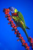 rainbow-lorikeet-picture;rainbow-lorikeet;lorikeet;trichoglossus-haematodus;colourful-parrot;colorfu