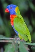 rainbow-lorikeet-picture;rainbow-lorikeet;lorikeet;colourful-lorikeet;colorful-lorikeet;australian-l