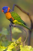red-collared-lorikeet-picture;red-collared-lorikeet;red-collared-lorikeet;Trichoglossus-rubritorquis