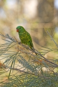 scaly-breasted-lorikeet-picture;scaly-breasted-lorikeet;scaly-breasted-lorikeet;lorikeet;australian-