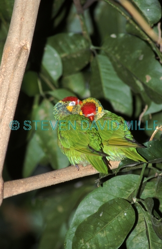 AUSTRALIA;BIRDS;COURTSHIP;CUTE;LORIKEETS;PARROTS;VERTEBRATES;VERTICAL;varied lorikeet;psitteuteles versicolor