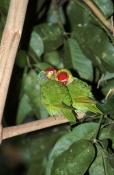 AUSTRALIA;BIRDS;COURTSHIP;CUTE;LORIKEETS;PARROTS;VERTEBRATES;VERTICAL;varied-lorikeet;psitteuteles-v