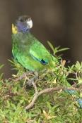 australian-ringneck-parrot-picture;australian-ringneck-parrot;twenty-eight-parrot;australian-parrot;