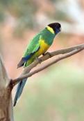 australian-ringneck-parrot-picture;australian-ringneck-parrot;port-lincoln-parrot-picture;port-linco